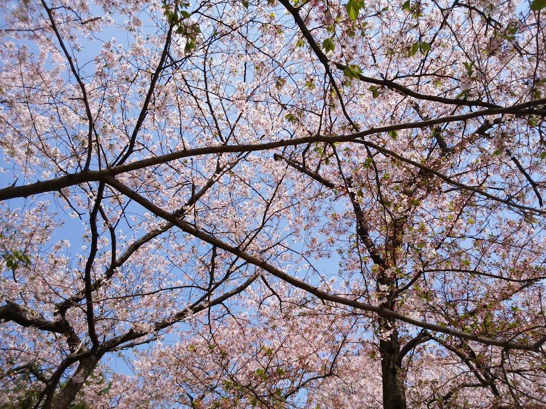 桜アップ2018年