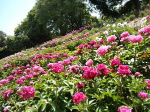 舞鶴公園の牡丹芍薬園