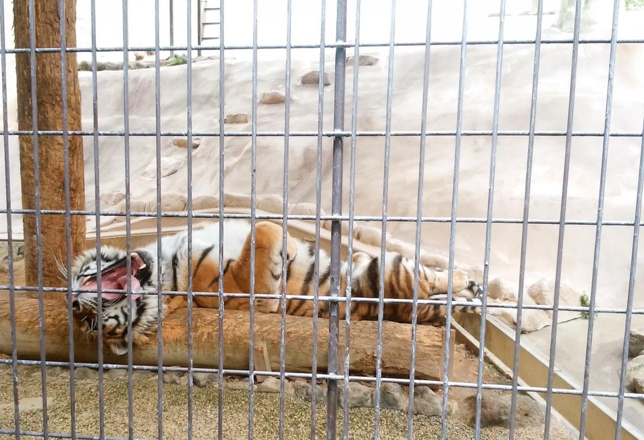 20170505動物園のトラ